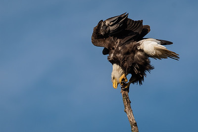 Bald Eagle Balancing Act