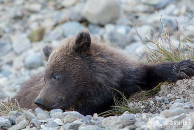 Spring brown bear cub at Katmai National Park, Alaska