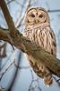Barred Owl 02