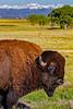 Bison & Rockies