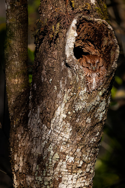 Eastern Screech Owl Den