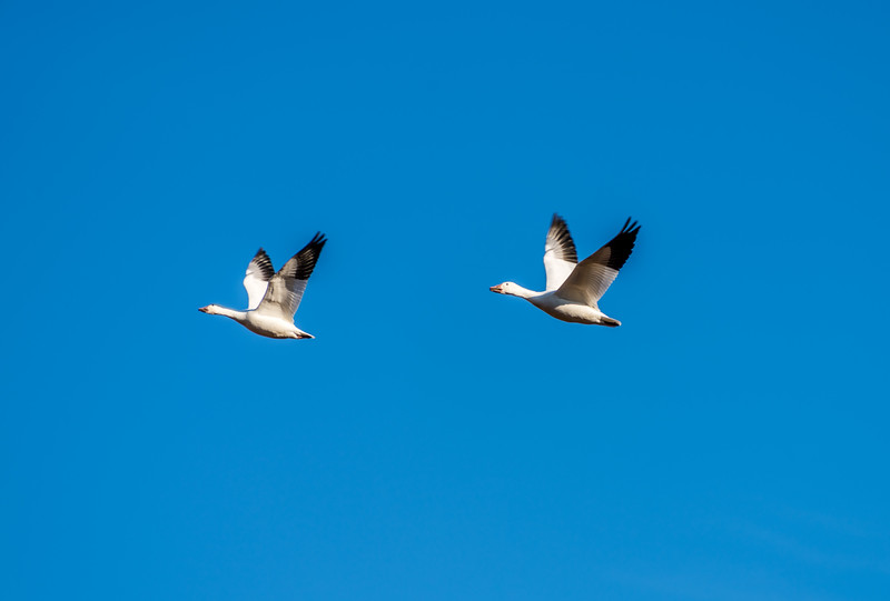 Canadian Snow Geese in Flight
