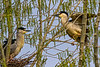 Black-crowned Night-Heron Pair 2
