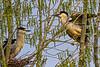Black-crowned Night-Heron Pair 2