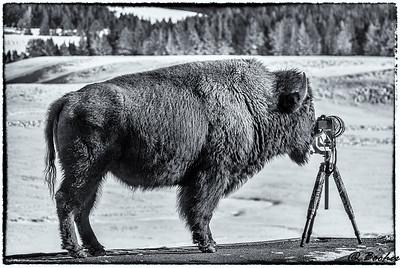 Bison prefer Nikons