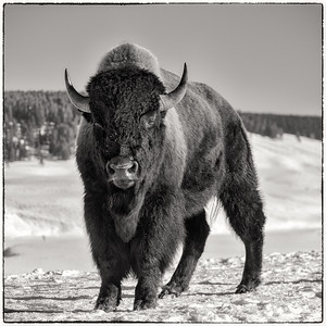 Bison-Eye to Eye