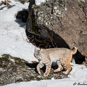 Bobcat along the Madison River