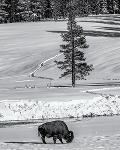 Bison on the Yellowstone River