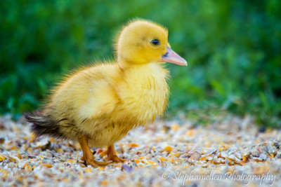 Yellow Baby Duck