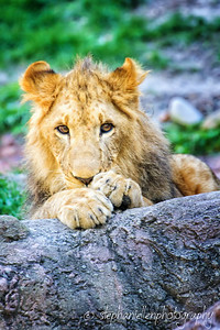 Young Lion on Rocks