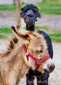 Llama and Donkey