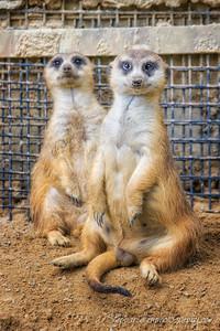 Funny Meerkats