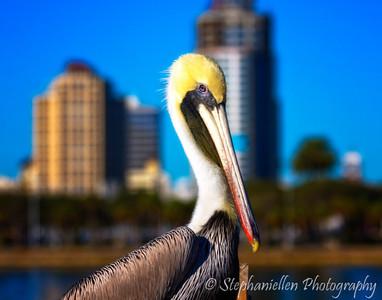 St Pete Pelican