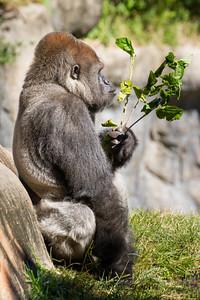 Calm Gorilla