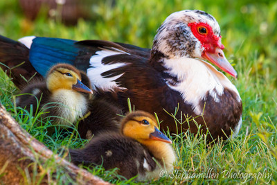 Muscovy Duck with babies