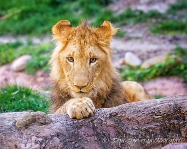 Intense Young Lion