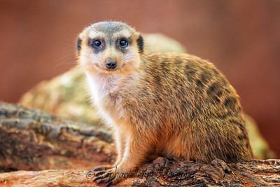 Happy Meerkat
