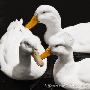 White Ducks Water