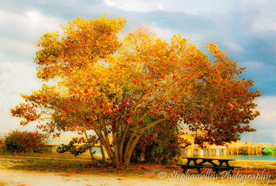 Fall Tree at Beach