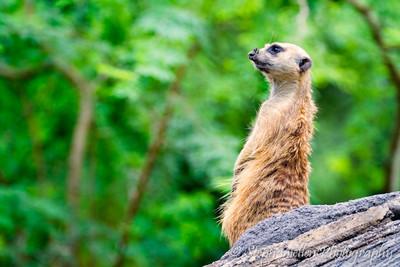 Gazing meerkat