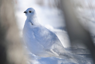 Willow Ptarmigan in thick winter plumage