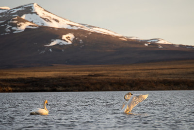 Trumpeter Swan pair stretching their wings