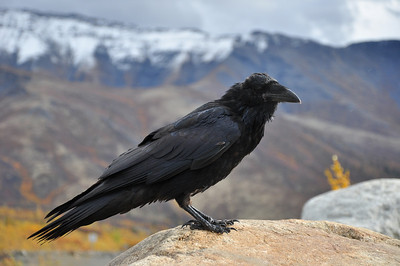 Raven overlooking the Dempster Highway