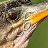 Eye of the Anhinga