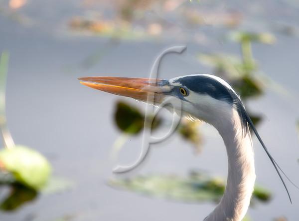 Great Blue Heron Headshot