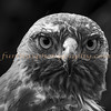 Golden Eagle in Black & White