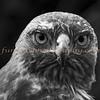 Golden Eagle in Black & White