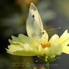 Yellow Moth & Tickseed