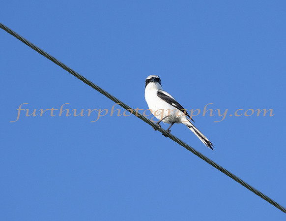 Bird on a Wire (Loggerhead Shrike)