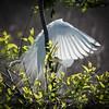 Preening Egret 3