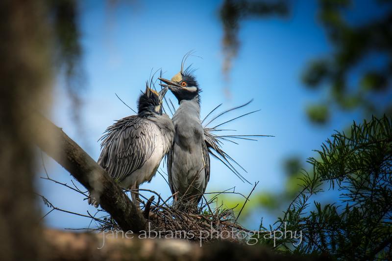 Yellow-Crowned Night Herons