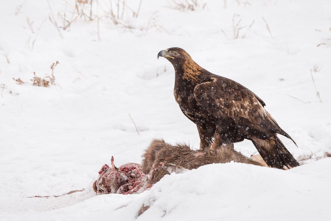 Golden Eagle Lunch
