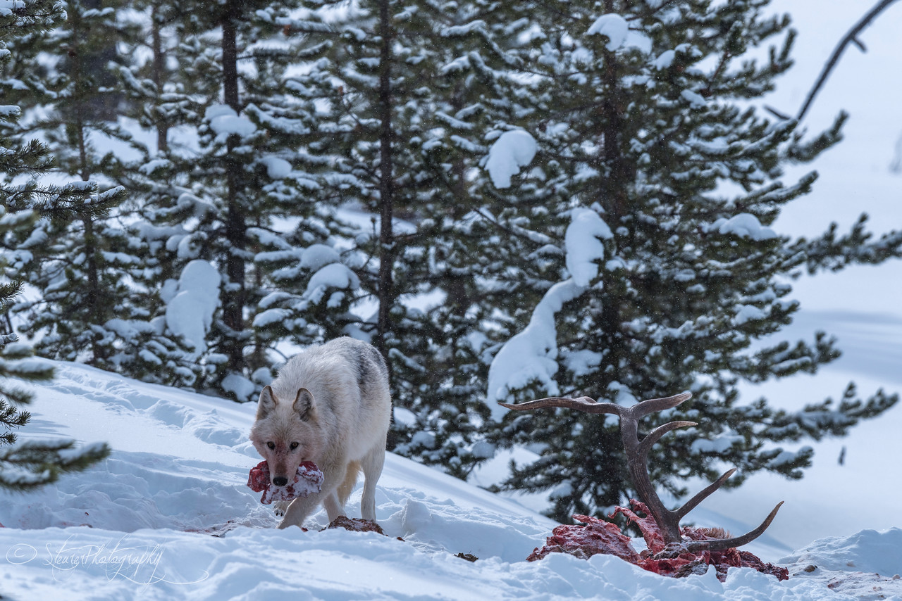 Ice Queen - the alpha female of the Wapiti Wolf Pack - Nymph Lake, Yellowstone 2018
