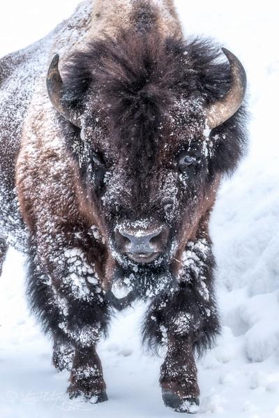 Ice King - Lamar Valley, Yellowstone 2018