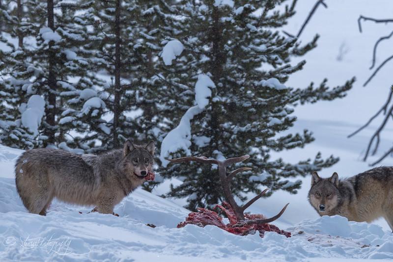 Wapiti Wolf Pack - Nymph Lake, Yellowstone 2018