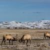 Elk Refuge - Jackson Hole, WY 2018