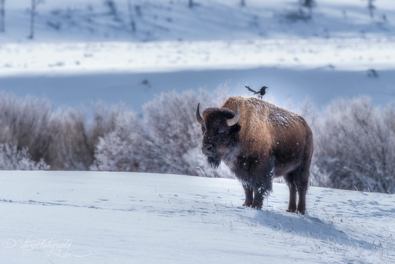 The Bison and the Elster - Lamar Valley, Yellowstone 2018