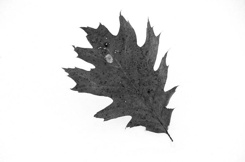 Oak Leaf on Snow