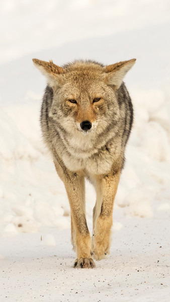 Approaching Coyote