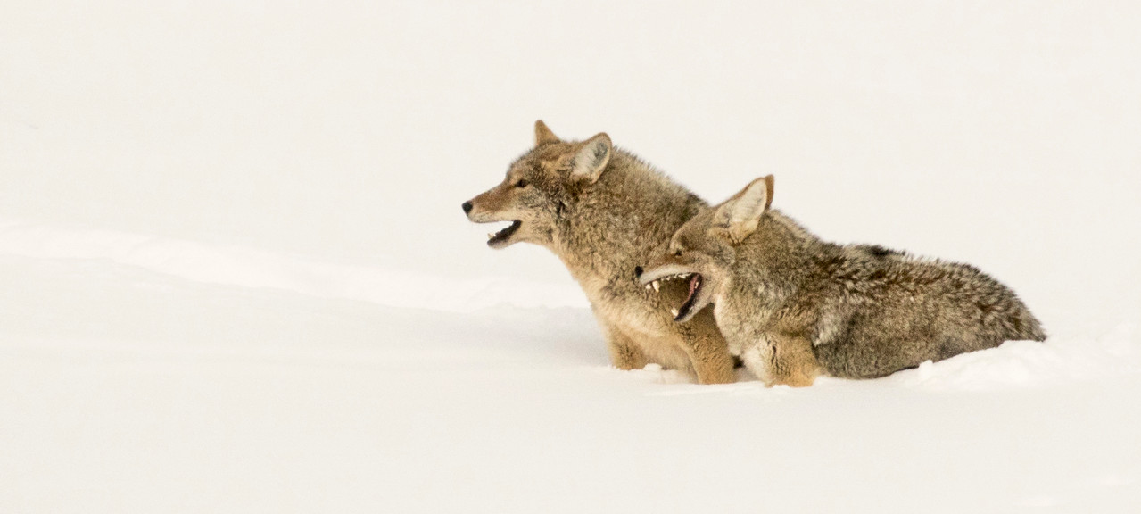 Coyotes Knee Deep in the Snow