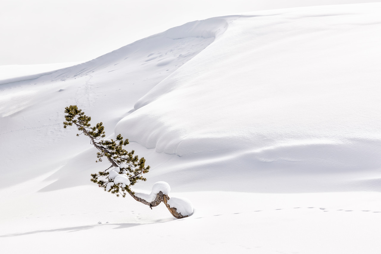 Leaning Tree in the  Snow
