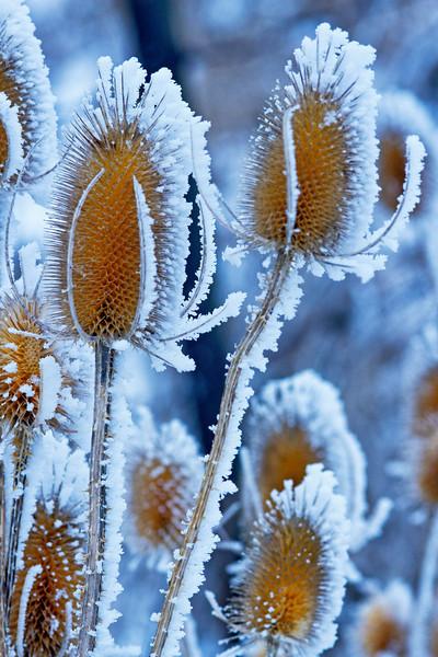 Hoar Frost Thistle