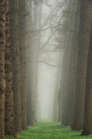 Lane of oaks