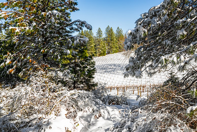 Winter landscape of a snow covered vineyard and pine trees