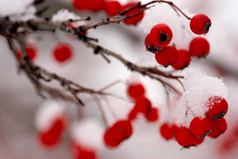 Berries in Snow 1