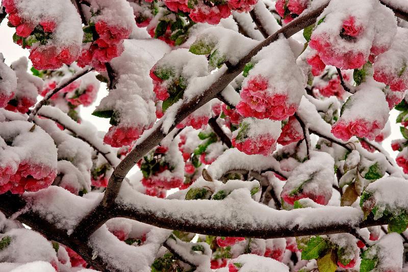 Apple Blossom Snow 1